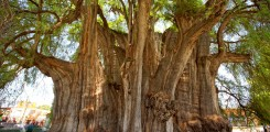شجرة البانيان العملاقة في المكسيك