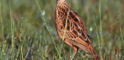طائر ليبين لارك (Liben Lark) مهدد بالانقراض في العالم