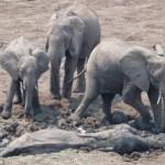مشهد مليئ بالامومة والحنان لدى انثى الفيل وابنها