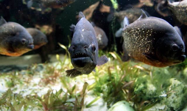 سمك البيرانا 16112888.jpg