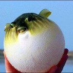 سمكة البالون سمكة غريبة الشكل تنفخ نفسها لتدافع عن نفسها