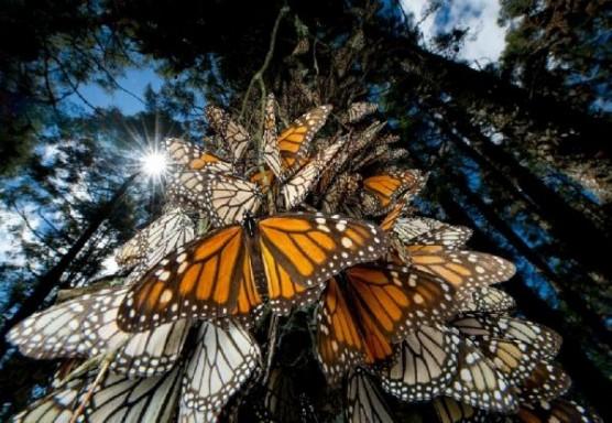 اكتشف هجرة الفراشات حول العالم _ صور رائعة