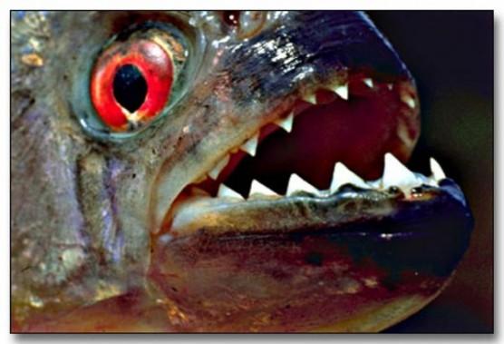 تعرف على سمك البيرانا ذات الاسنان الحادة