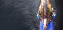 طائر الكاسواري _ من اخطر طيور العالم