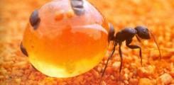 نمل يجمع العسل مثل ما يجمعه النحل