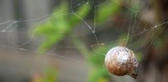 اغرب نوع من العناكب يستخدم قوقعة للاختباء