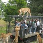 هنا تجد الناس في الأقفاص و الحيوانات خارجها في حديقة حيوان أورانا في نيوزيلندا