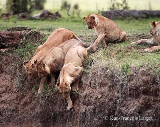 شعور الحيوانات ببعضها , عائلة الاسود مجتمعه لانقاذ شبلها