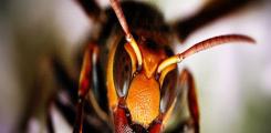 قتل 30 دبور خلية كاملة بـ 30 ألف نحلة في معركة ملحمية وتسبي عسلها وأطفالها وخلية أخرى تدافع عن نفسها