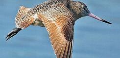 اطول رحلة طائر يقطعها بدون توقف من ألاسكا وحتى نيوزيلاندا