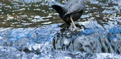 تعرف على طائر الغطاس الأمريكي احد انواع الطيور المميزة