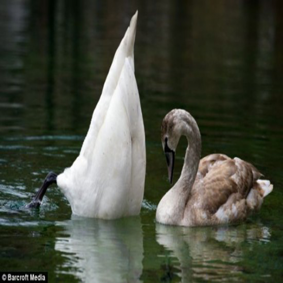صور لمجموعة من البجع تحاول التقاط صيدها