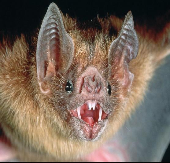 من قال ان الخفاش ليس له عيون مبصرة !