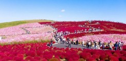 حديقة هيتاشي في اليابان الميئة بالزهور الخلابة
