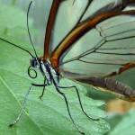 الفراشة الشفافة من أجمل الفراشات