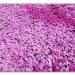 الحديقة الوردية في اليابان