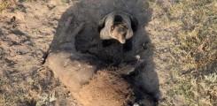 صورة لدب يحرس وجبتة طعامه